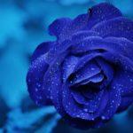 sa.2817.rose.vvv.5